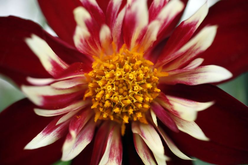 A Dahlia 'Spectacular' plant is seen during media day at the Chelsea Flower Show in London May 20, 2013. The annual show opens to the public on Tuesday. REUTERS/Stefan Wermuth (BRITAIN - Tags: ENTERTAINMENT ENVIRONMENT SOCIETY)