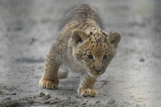 A month old liliger cub walks in Novosivirsk Zoo in Russia on June 18, 2013. (AP Photo /IInar Salakhiev).