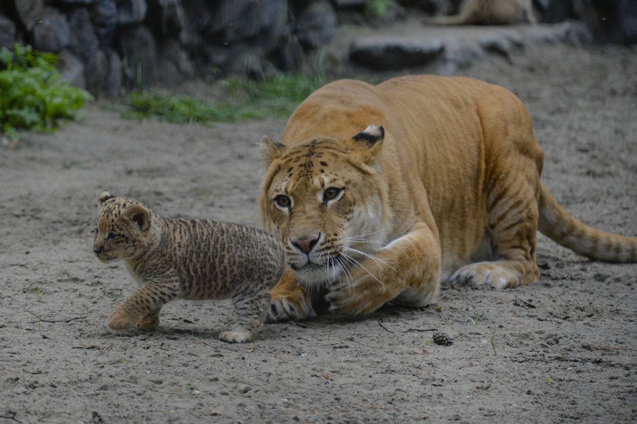 Photos: Cute Liliger Cubs At the Novosibirsk Zoo, Russia ...