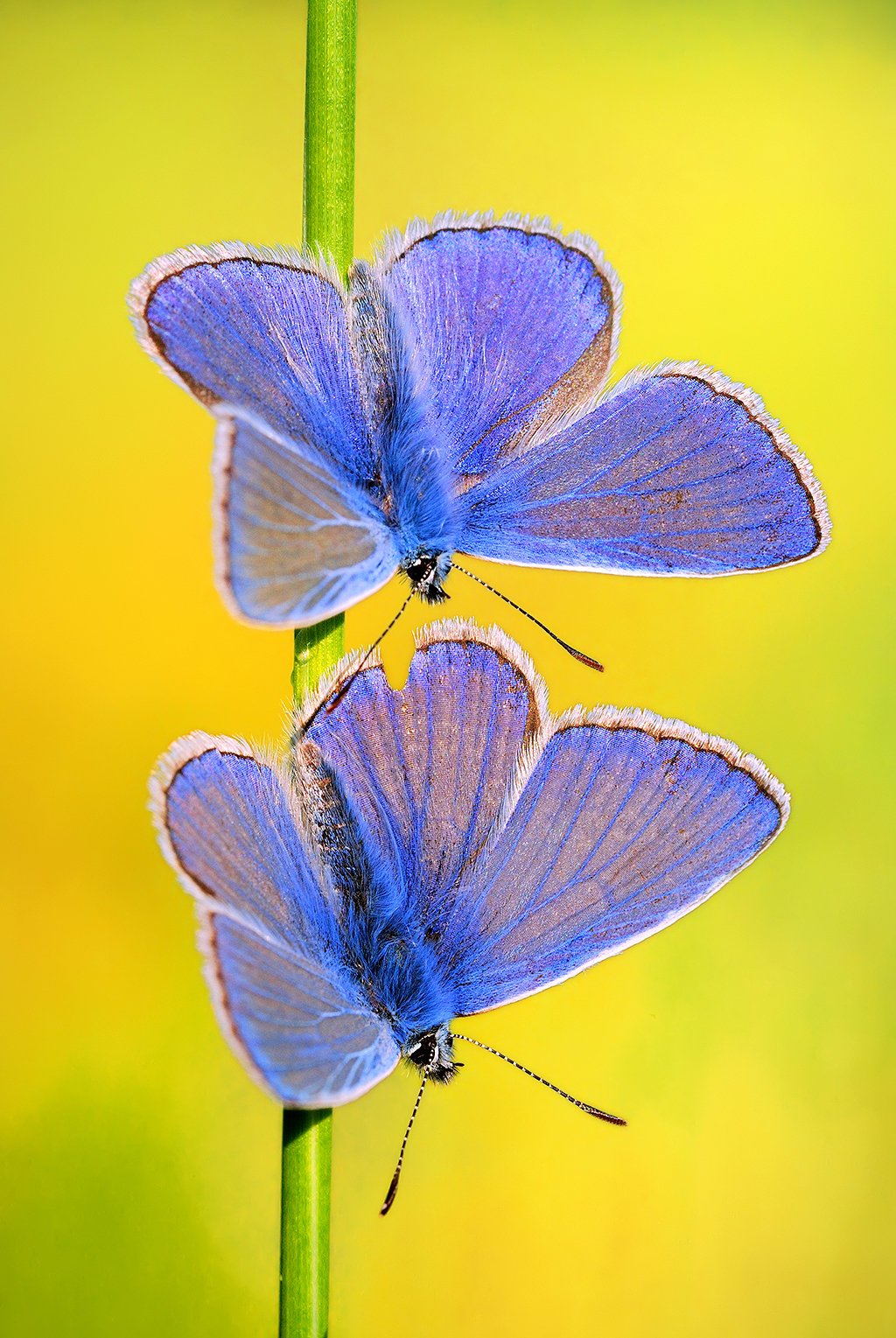 Butterflies (Marco Photography by Boris Godfroid)