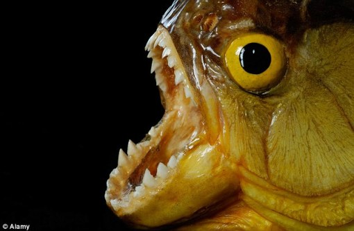 Piranha fish are known for their sharp teeth and large appetite for meat. Hundreds of attacks are reported every year, with experts and biologists often warning swimmers not to go into unknown waters. (Photo MailOnline)