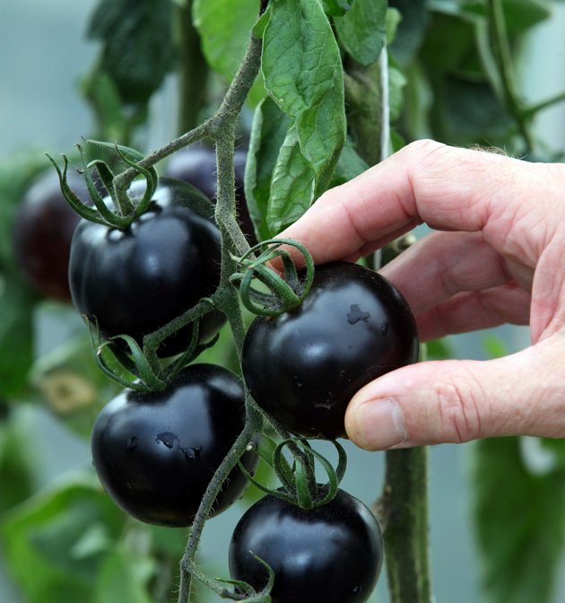 The uniquely coloured tomato has black skin and contains healthy antioxidants. (SWNS)