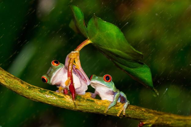 Cute couple: the friendly frog shields its partner from the rain (Caters)