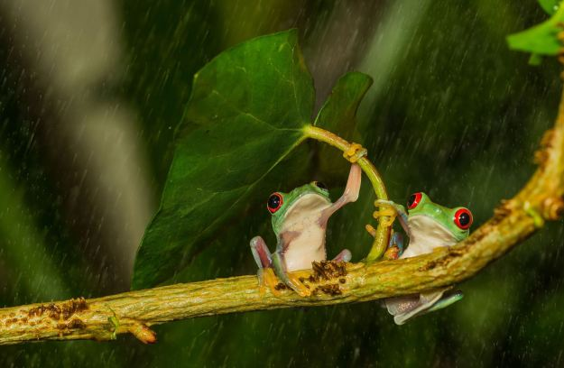 The clever frog used a makeshift 'umbrella' to stop its partner getting wet (Caters)