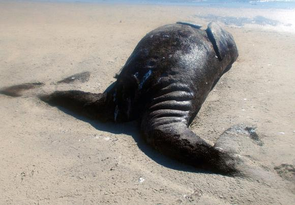 """Fishermen have found two conjoined gray whale calves in a northwestern Mexican lagoon, a discovery that a government marine biologist described as """"exceptionally rare."""" The four-meter (13-foot) long siamese whales were dead when they were found in the Ojo de Liebre lagoon (HO, AFPGetty Images / January 7, 2014). Image credit to Orlando Sentinel."""