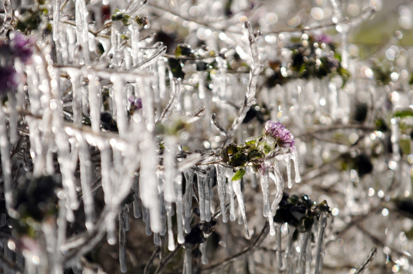An overnight sprinkler left icicles on the shrubs at The Antique Market of San Jose, Tuesday, Jan. 7, 2014, in Jacksonville, Fla. (AP Photo/The Florida Times-Union, Will Dickey)