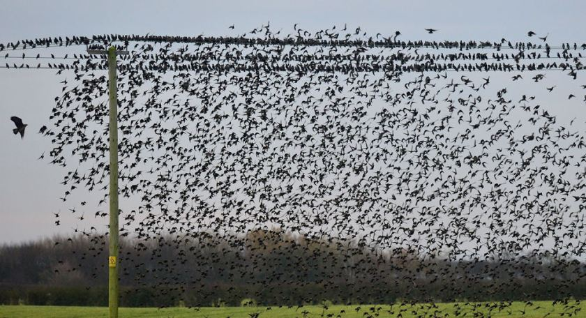 The bird of prey returns to shock the hundreds of starlings. Starlings are said to gather in great numbers in order to confuse large preying birds such as the one pictured (left). (PA)The bird of prey returns to shock the hundreds of starlings. Starlings are said to gather in great numbers in order to confuse large preying birds such as the one pictured (left). (PA)