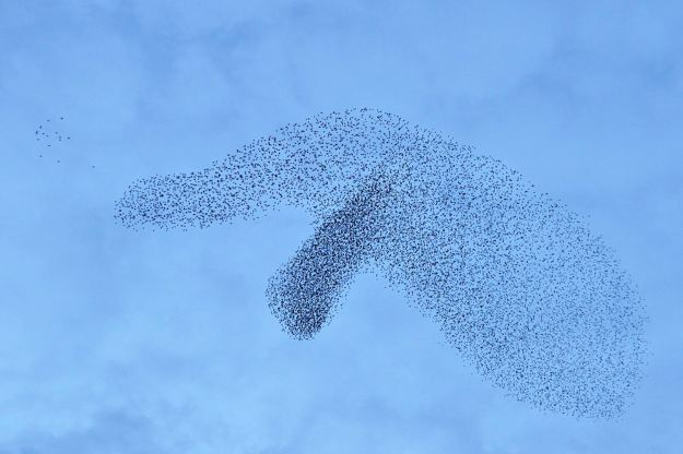 Is this Dumbo the Elephant? A murmuration of starlings snapped in Hereford at one point appeared to look like the long-nosed animal. (SWNS)