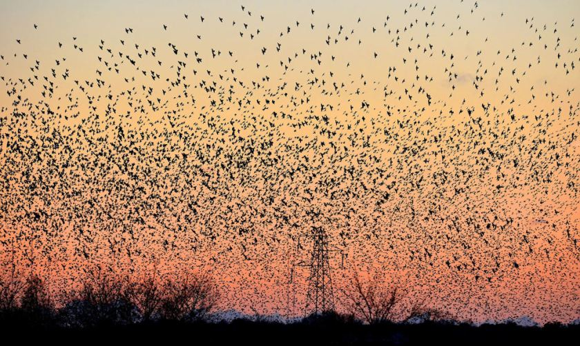 Starlings are common garden birds but have been placed on the Red List for its sharp decline since the 1970s. (PA)