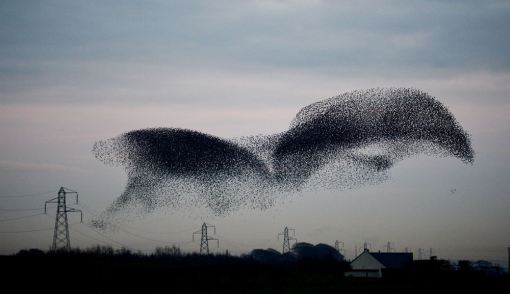 The murmuration of starlings form a shape of a bat above the small village of Rigg. (PA)The murmuration of starlings form a shape of a bat above the small village of Rigg. (PA)