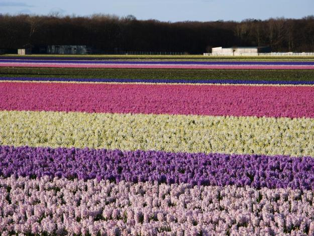 Flowers are in full bloom on this field near the Keukenhof flower show on April 6, 2008 in Voorhout, the Netherlands. (Photo by Michel Porro/Getty Images)