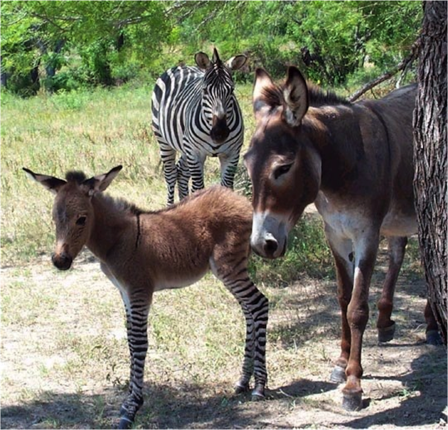 Meet Ippo, a rare zonkey born at an Italian animal reserve in 2013.
