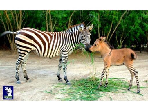 A vary rare animal was born at Mexico's Reynosa Zoo on April 21. Khumba the zonkey is rare and incredibly adorable. As you might have guessed, a zonkey (or 'zedonk') is a cross between a zebra and a donkey. Khumba's mother is a zebra, the father is a white donkey.