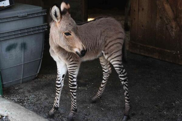 Meet Ippo, a rare zonkey born at an Italian animal reserve in 2013.