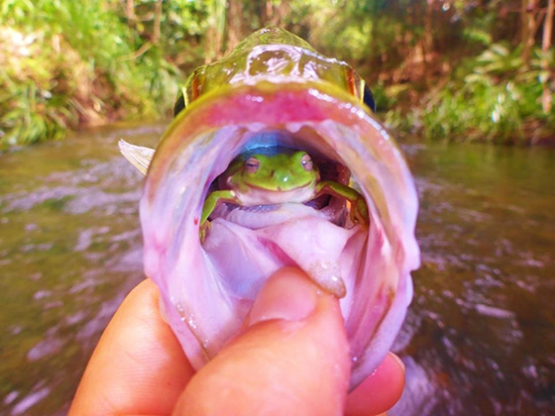Astonishing pic! Fisherman discovers live frog in throat of fish Z-Man Lures Australia's Facebook page