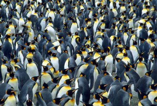 A colony of king penguins seen in South Georgia. (Jean Paul Ferrero/Ardea/Caters News)