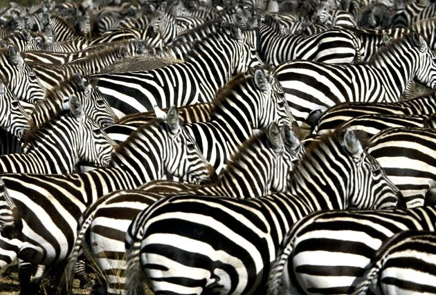 Common zebras seen in Masai Mara, Africa. (Ferrero-Labat/Ardea/Caters News)
