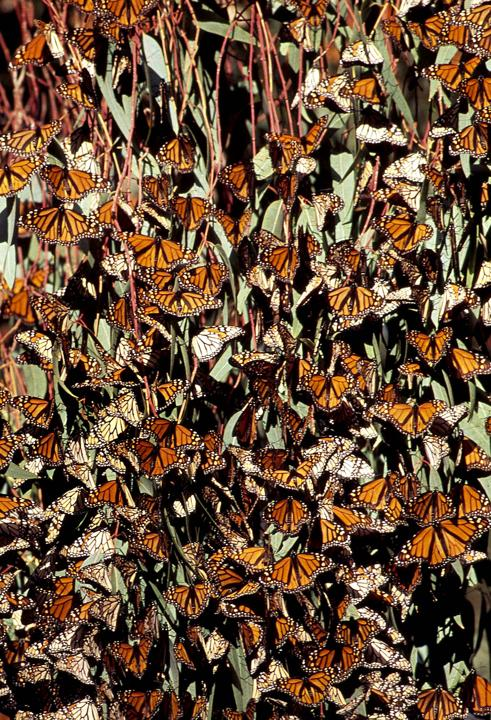 Thousands of Monarch butterflies rest on a tree in North America. (Jean Paul Ferrero/Ardea/Caters News)