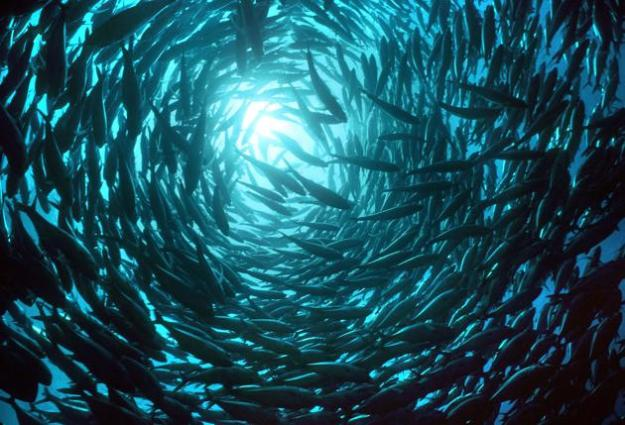 A huge school of salmon seen in the waters of Hawaii. (Valerie Taylor/Ardea/Caters News)