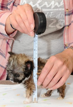 Measuring up: The tiny pup is under five inches high. (SWNS)