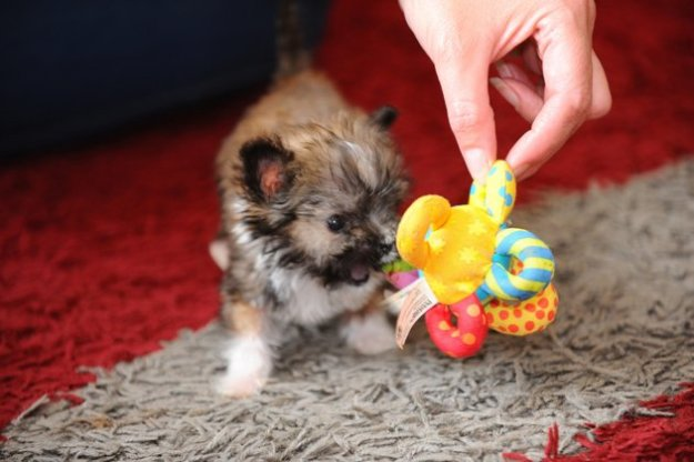 Tyson the tiny dog gets to grips with one of his toys. (SWNS)