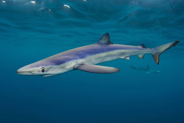 Alexander Mustard also came top in the 'Coast and Marine' category of the Wildlife Photography Awards, with this incredible underwater shot of a blue shark (PA/British Wildlife Photography Awards 2014/Alexander Mustard)