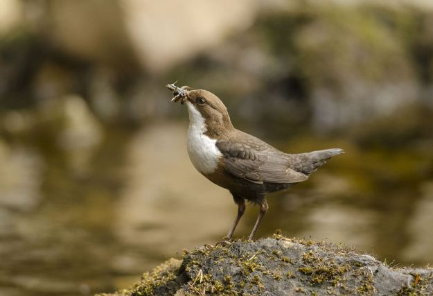 'Dinner time': This action shot of a dipper munching on some grubs, taken by William Bowcutt in Dumfries, was voted the best out of the 'Under 12 Young People' submissions (PA/British Wildlife Photography Awards 2014/William Bowcutt)