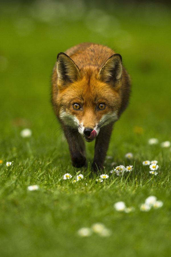 Joshua Burch stared into the eyes of this fox on the prowl in South London, and captured a fantastic picture which won him top place in the '12-18 You People' shortlist (PA/British Wildlife Photography Awards 2014/Joshua Burch)