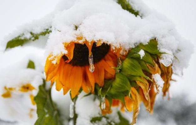 An icicle forms on a sunflower as snow continues to fall in Cremona, Alta., Tuesday, Sept. 9, 2014. Environment Canada issued a snowfall warning for Calgary, and much of the rest of Southwestern Alberta. THE CANADIAN PRESS/Jeff McIntosh