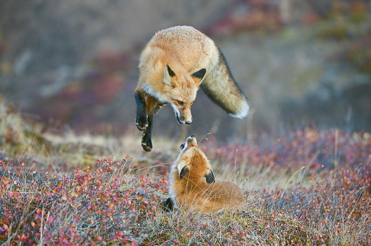 A Red Fox frolicking in the fall colors of Denali National Park and Preserve, Alaska. (Dee Ann Pederson Houston, Texas, USA/Courtesy of National Museum of Natural History)