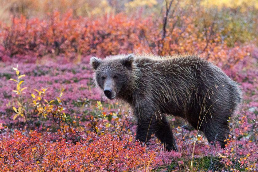 Bear necessities: The Denali National Park in Alaska. (Caters)