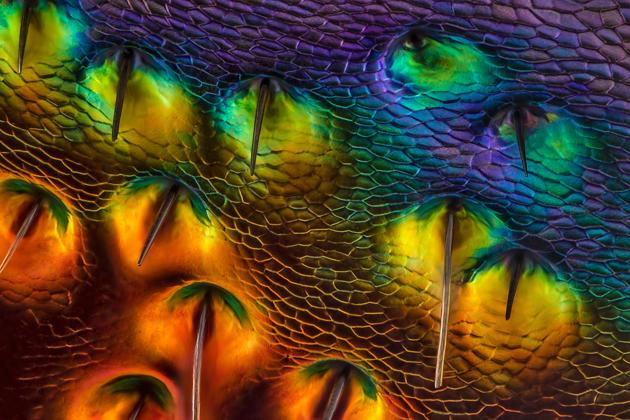 Mr. Charles Krebs Charles Krebs Photography Issaquah, Washington, USA Chrysochroa buqueti (jewel beetle) carapace, near eye Diffused, Reflected Illumination 450X  (courtesy of Nikon Small World)
