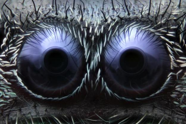Noah Fram-Schwartz Greenwich, Connecticut, USA Jumping Spider Eyes Reflected Light 20X(courtesy of Nikon Small World)