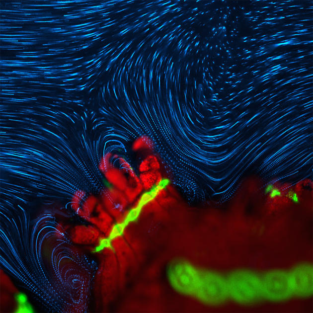 Dr. Douglas Brumley Department of Civil and Environmental Engineering, Massachusetts Institute of Technology Cambridge, Massachusetts, USA Active fluid flow around P. damicornis (coral polyp) Fluorescence, Autofluorescence 4X (courtesy of Nikon Small World)