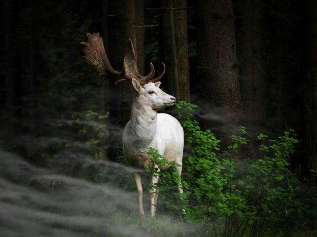 Morning Hour: A white fallow deer standing in the morning mist on an early morning in Eifel National Park, Germany. The photographer hardly dared to move (Georg May, Germany, Entry, Nature and Wildlife Category, Open Competition, 2015 Sony World Photography Awards)