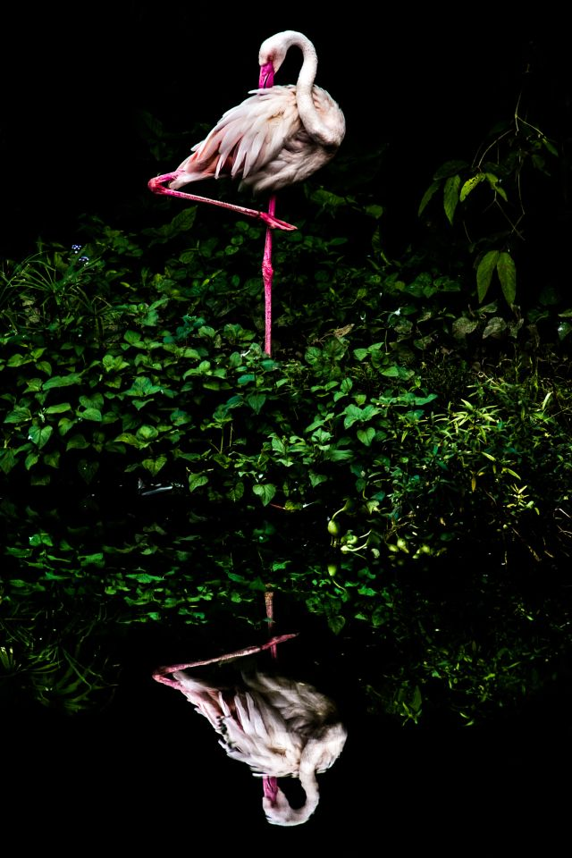 A flamingo is perfectly reflected in glassy water. (Steiner Wang)