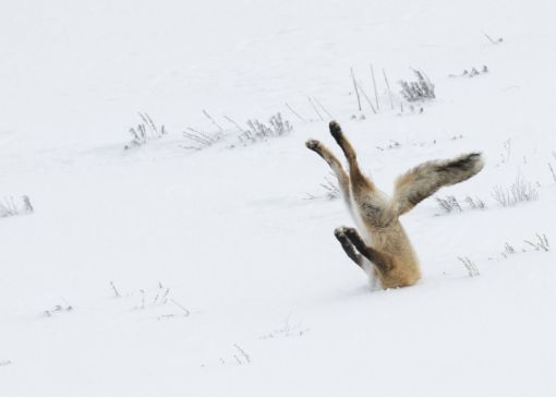 A fox smashes into a snowdrift trying to catch its breakfast. (Angela Bohlke/Barcroft Media)