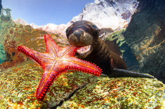This image of a sealion playing with a starfish was commended in the Portrait category (Picture: Francis Pérez/UPY 2017)