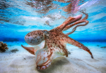 The overall winner of Underwater Photographer of the Year, French diver Gabriel Barathieu's Dancing Octopus (Picture: Gabriel Barathieu/UPY2017)