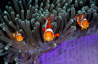 Clown anemonefish pictured at play in Indonesia (Picture: Qing Lin/UPY 2017)