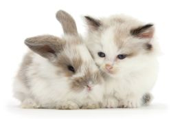 Colourpoint kitten with baby rabbit. (Photo: Warren photographic/Caters News)