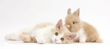 Ginger-and-white Siberian kitten, 16 weeks old, with baby Lionhead rabbit. (Photo: Warren photographic/Caters News)