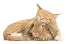 Sleepy ginger kitten, Tom, 3 months old, lounging on Sandy Lionhead-Lop rabbit. (Photo: Warren photographic/Caters News)