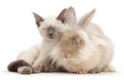 Blue-point Birman-cross kitten dozing with fluffy bunny. (Photo: Warren photographic/Caters News)