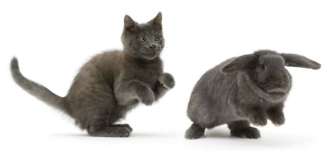 Russian Blue kitten chasing blue Lop rabbit. (Photo: Warren photographic/Caters News)