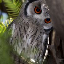 Jan spotted this small southern whitefaced owl in a tree at a campsite in the Kgalagadi Transfrontier Park, South Africa. These owls have black-tipped 'ear' tufts and usually lay their eggs in the old nests of other birds. Jan was able to frame a shot of this striking bird looking down at him as it didn't seem bothered by the comings and goings of the campsite.